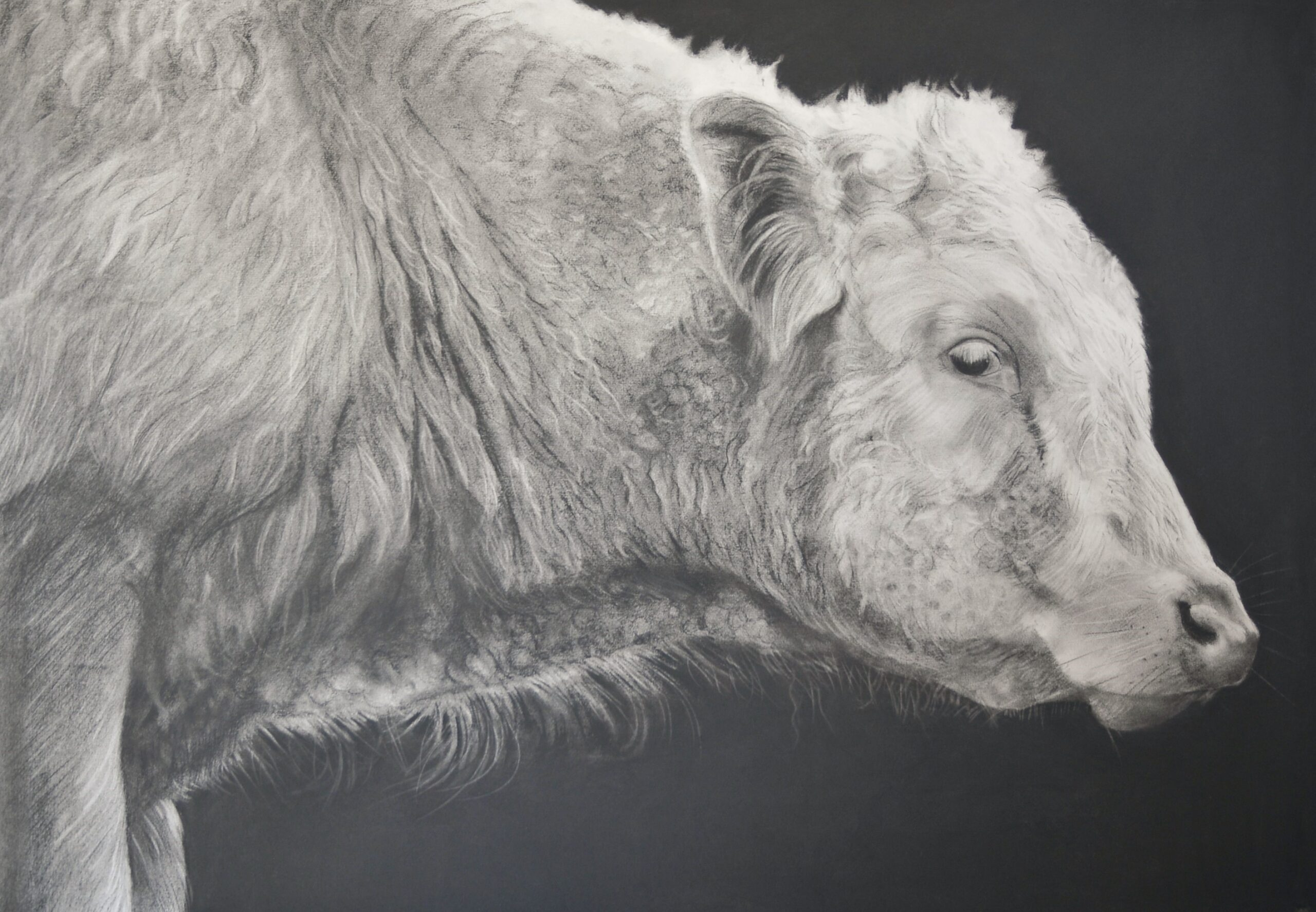 Charcoal drawing of a bullock head and shoulders