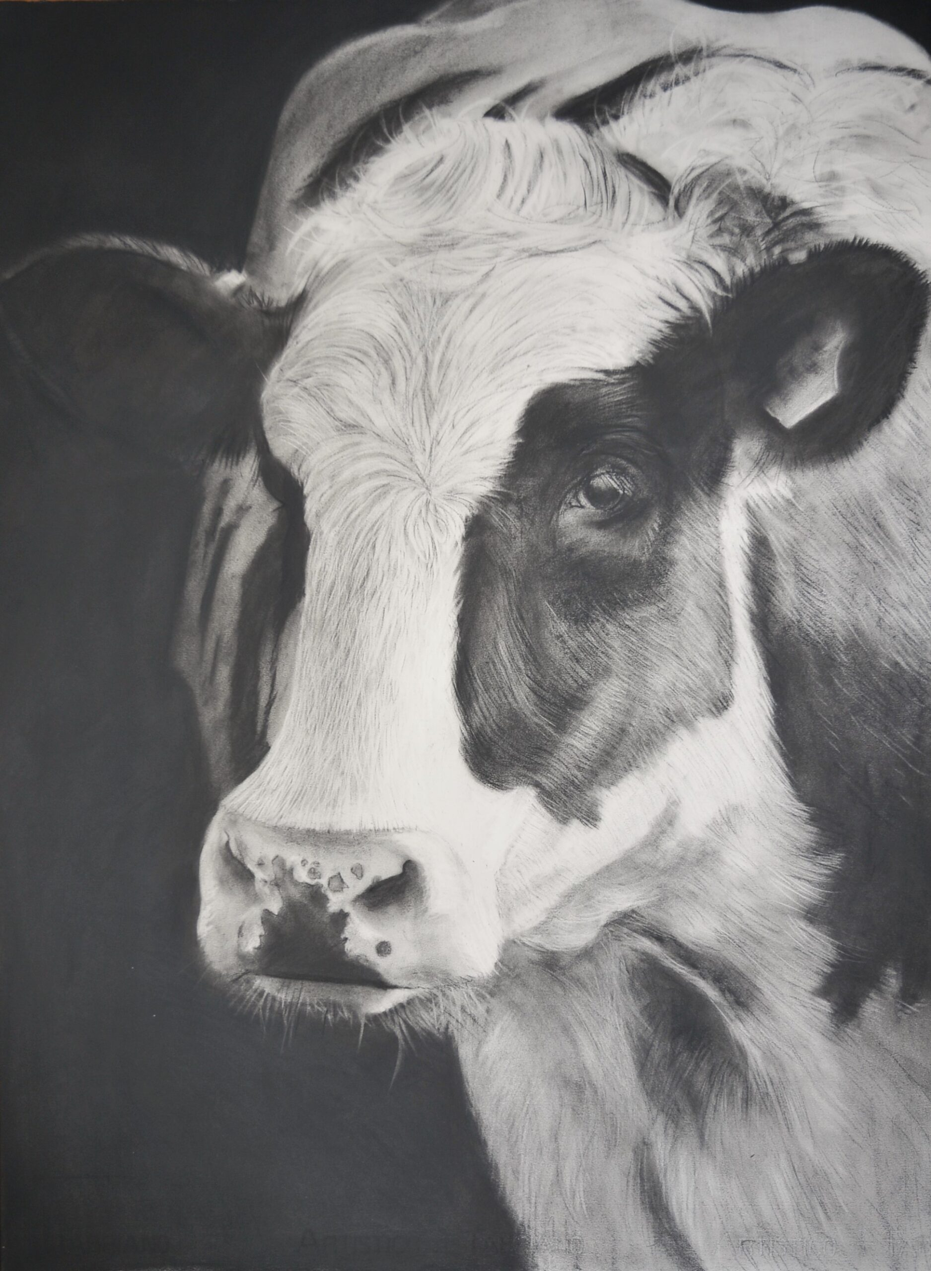 Charcoal drawing of a black and white cow
