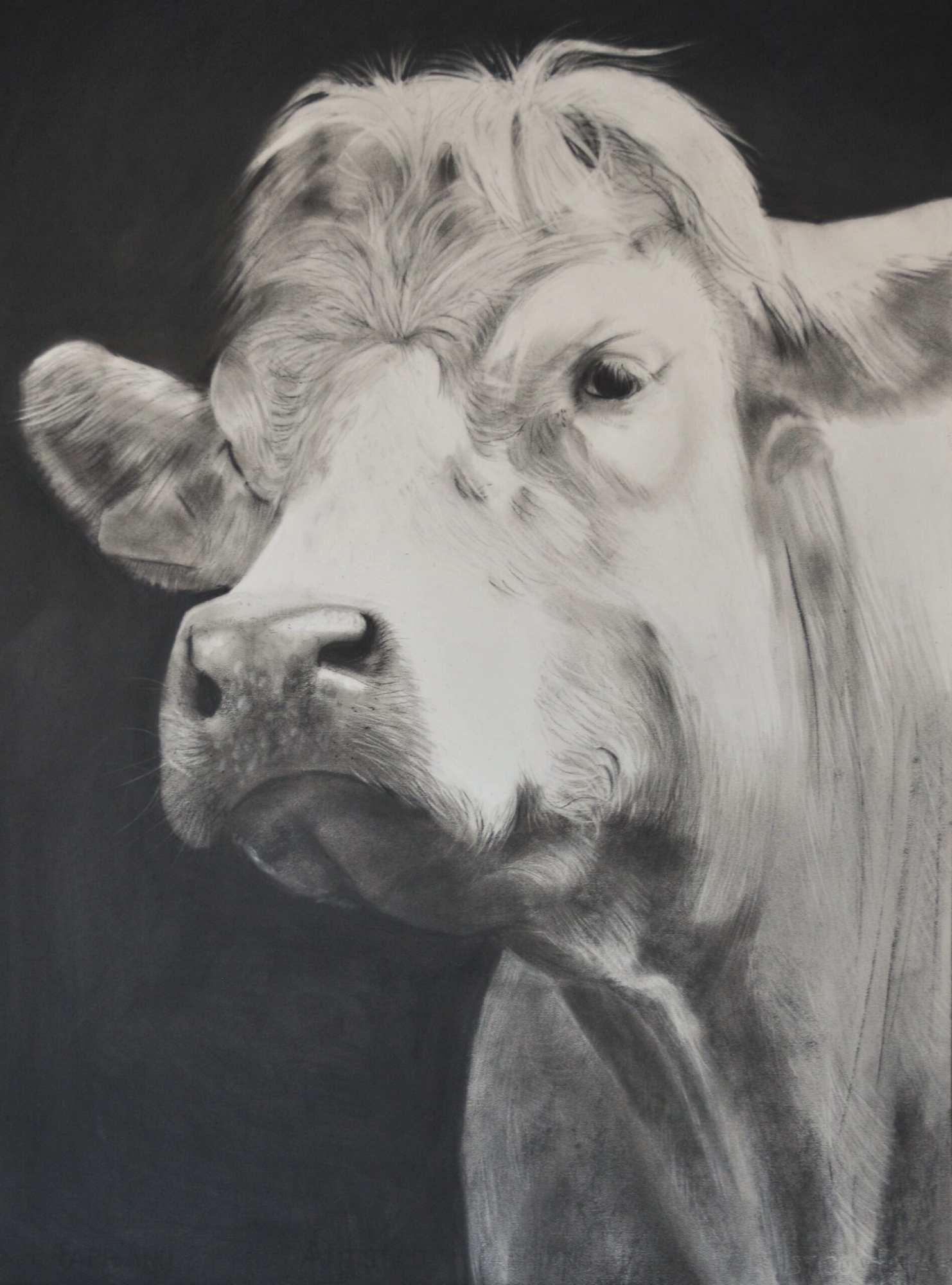 Charcoal drawing of a cow portrait format