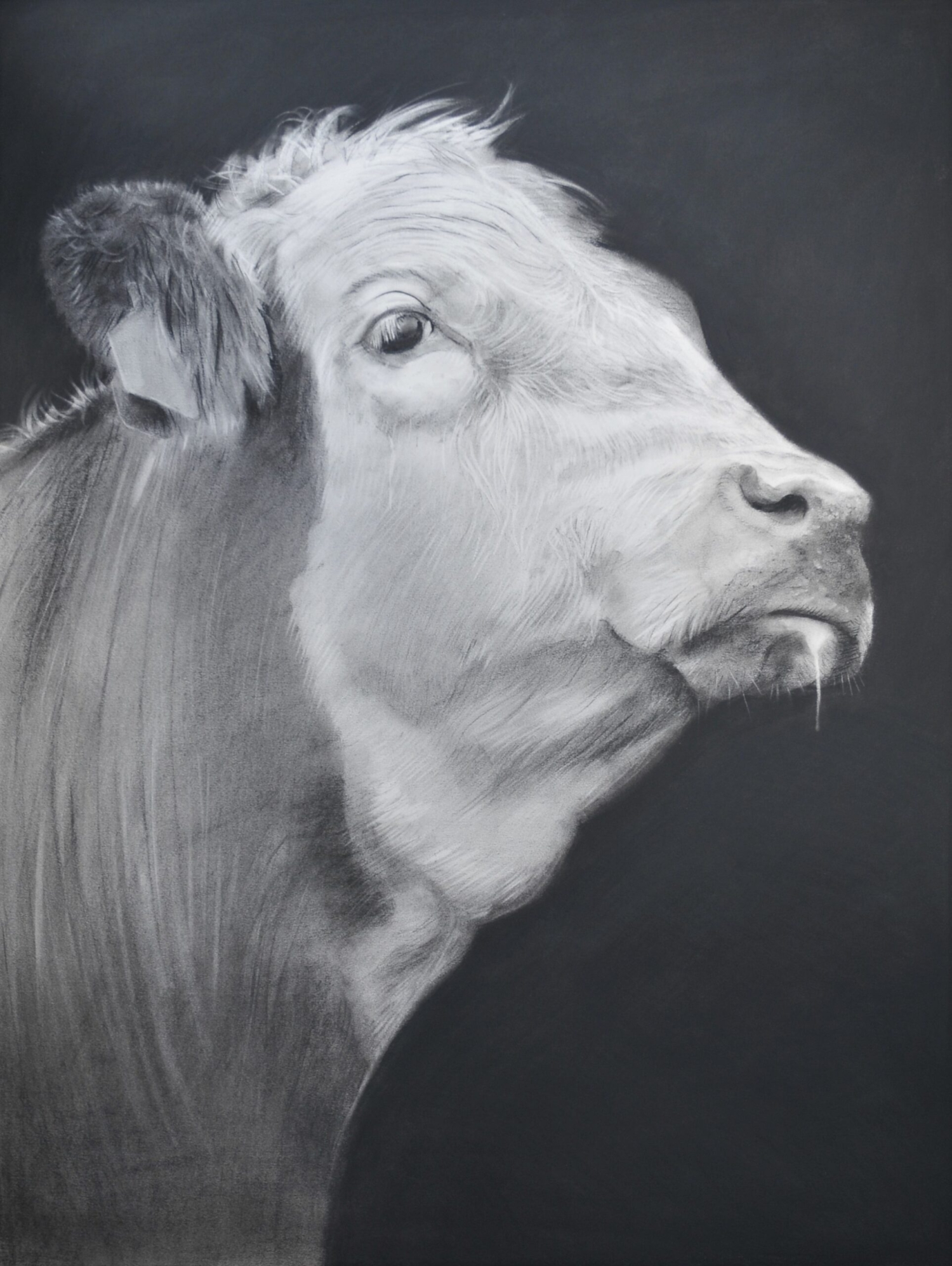 Charcoal drawing of a cow in profile