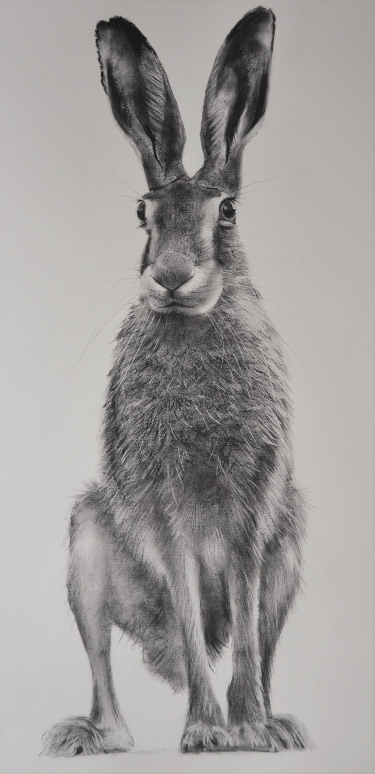 Charcoal drawing of a hare