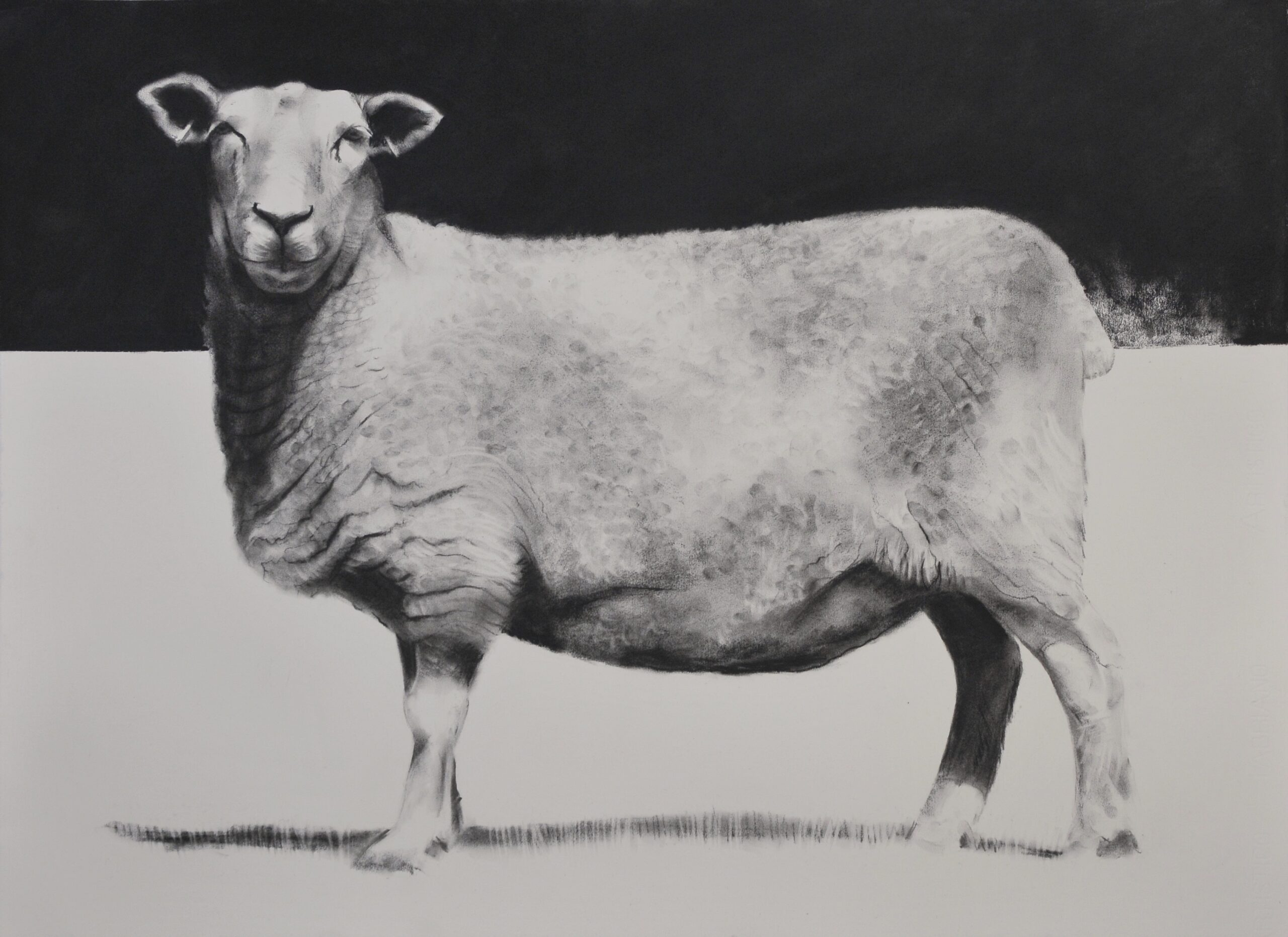 Charcoal drawing of a sheep side view