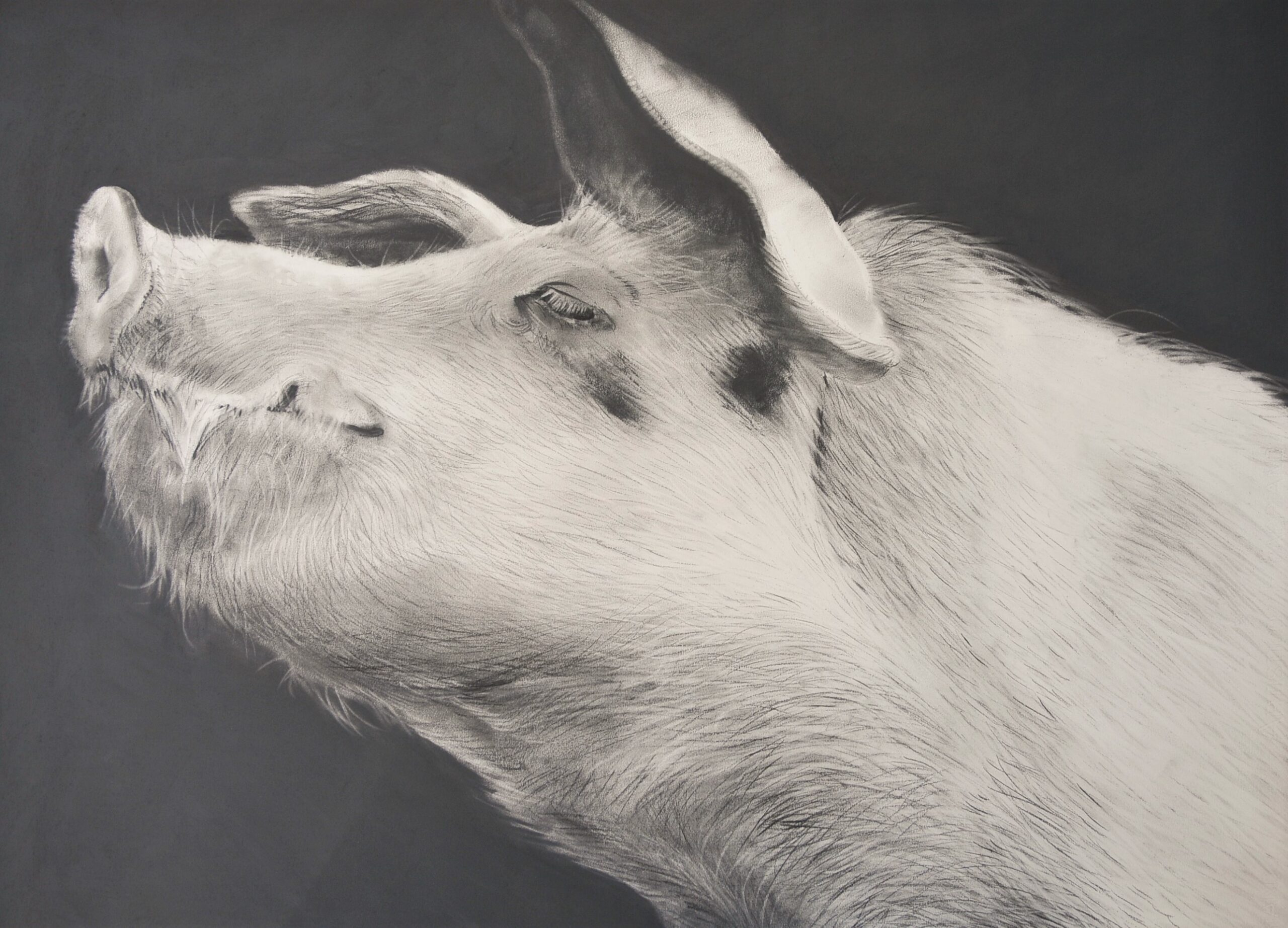 Charcoal drawing of a pig