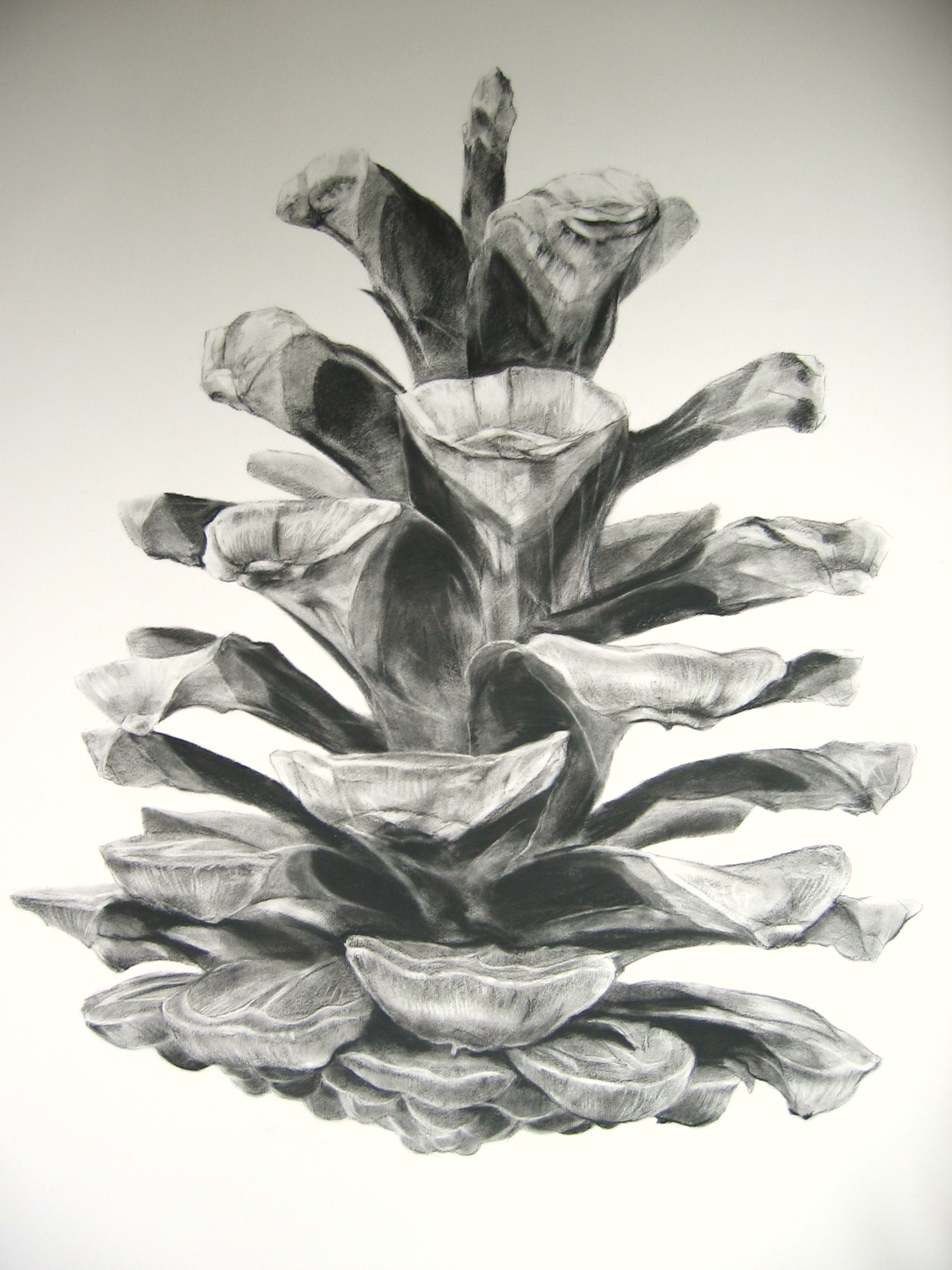 Charcoal drawing of a pine cone