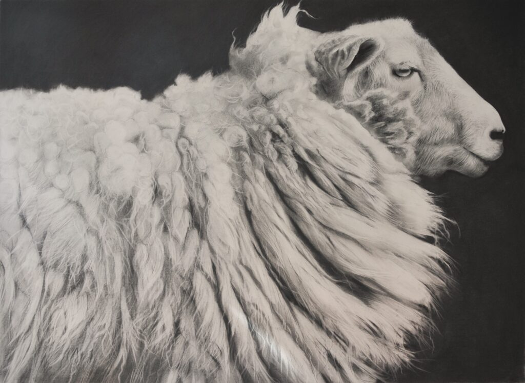 """Sheep [No.30]"" Charcoal on paper 