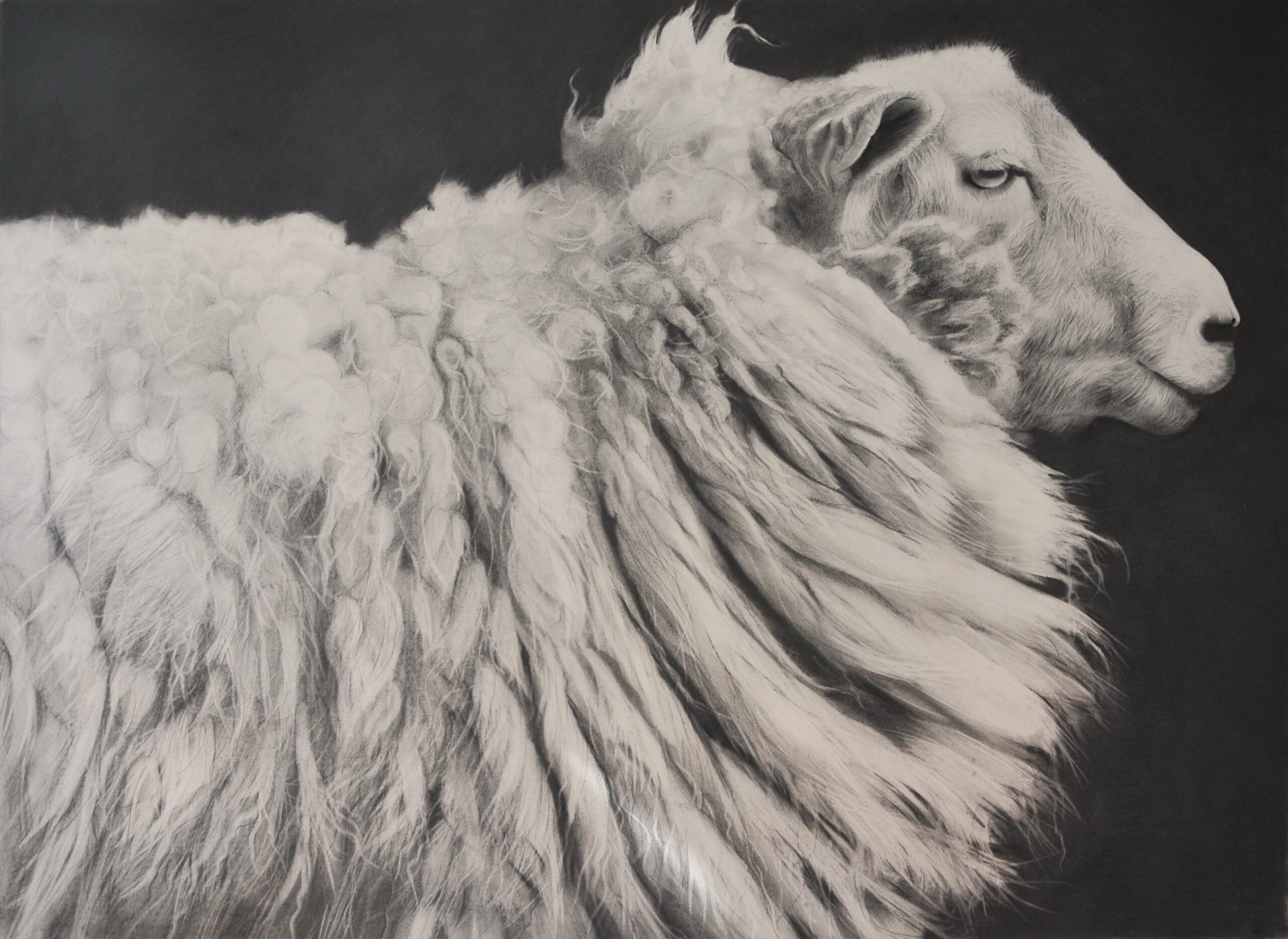 Charcoal drawing of a sheep head and shoulders
