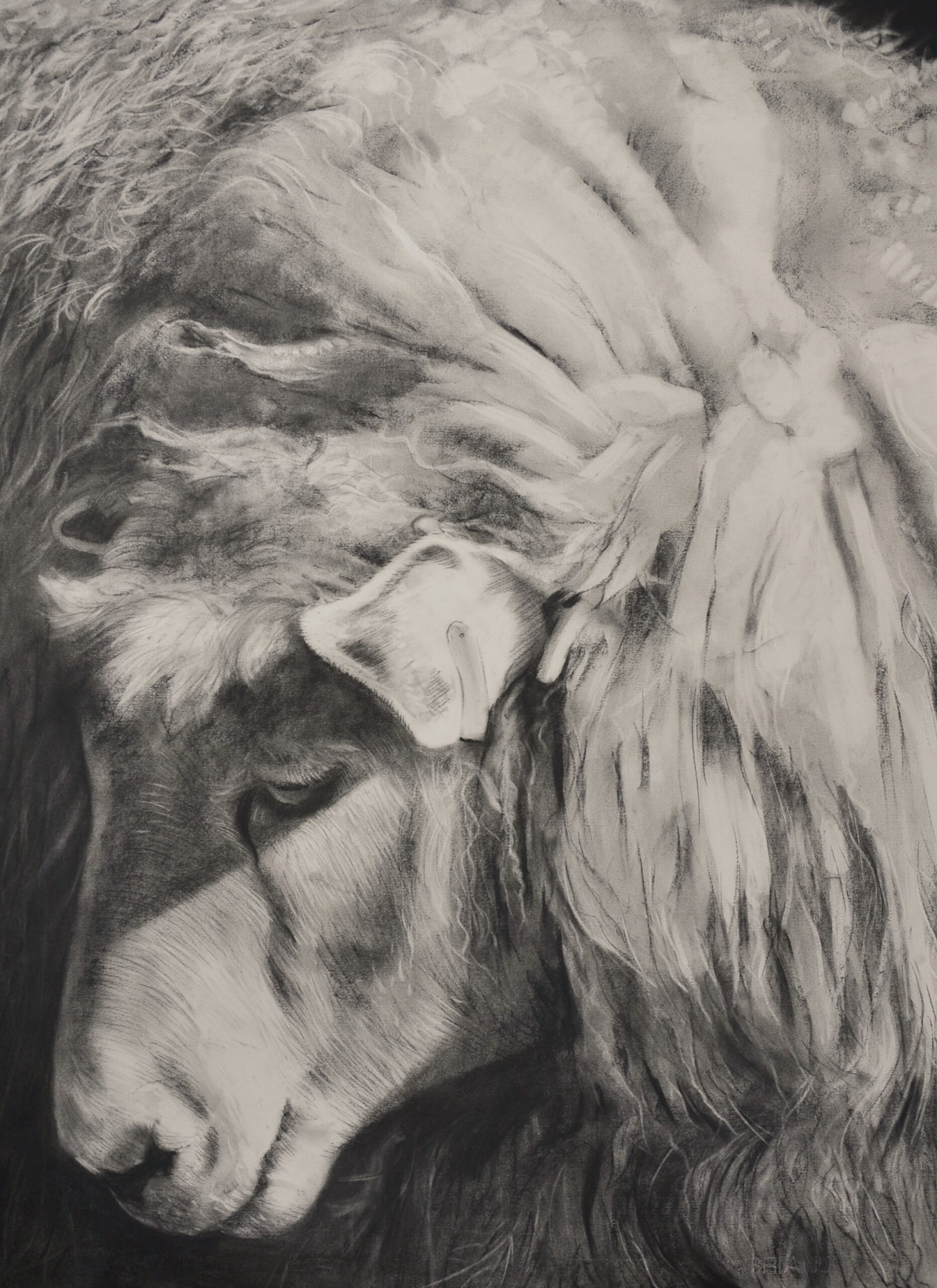Charcoal drawing of a sheep head down