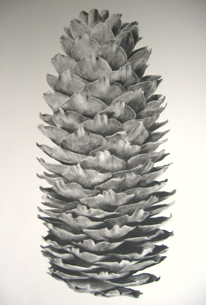 """Spruce Cone"" Charcoal on paper 